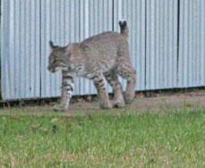 bobcat in morning
